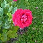 Rosa del jardín de entrada