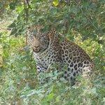 Our first leopard.  Ten feet away.  Magnificent ! ! !