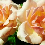 Romantic Roses in the cleverly designed Rose Garden.
