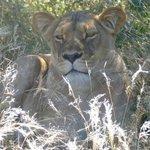 Löwen auf der Dinaka Safari Lodge