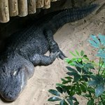 Crocodilo americano