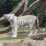 Très beau tigre blanc