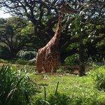 Giraffe at Zoo