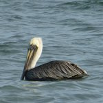 Pelicans in our Bay