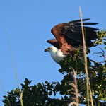African fish eagle from boat