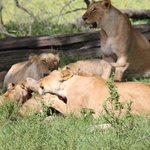 Lions and cubs feeding