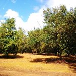 rows of macadamia trees in orchards along roadside to store