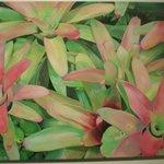 Bromelliads by Wanda Akkerman