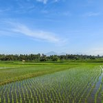 Rice Fields near Samaya Bali, Ubud