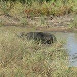 Buffel en luipaard (rechtsonder)