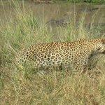 Luipaard wandelt weg...