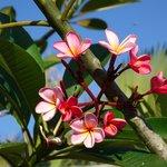 Meine Lieblingsblumen...  Frangipani