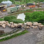 Great fun watching all the sheep being moved