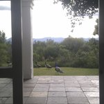 Peacocks from the breakfast room