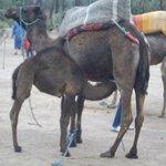Mother camel feeding calf