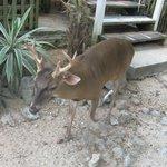 Deer in the hotel courtyard