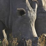 Great rhino viewing on the game drive