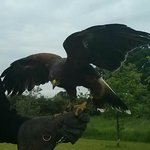 harris falcon