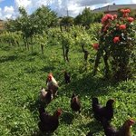 de huis-kippen