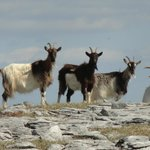 wild goats on cappaghmore