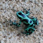 the black and green poison dart frog
