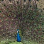 One of Nunnington Hall peacocks.
