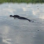One of the alligators we saw