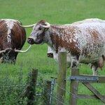 Beware cattle