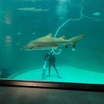diver cleaning shark tank
