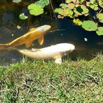 Large coy fish in the pond area