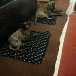 Luna a German Shorthair Pointer (left) & Hank an English Mastiff enjoying their beds :)