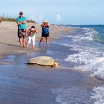 Turtle heading back to the gulf after nesting at the Weston's beach