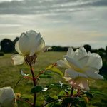 Rosas blancas del jardin
