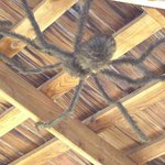 Butterfly Hut - Giant spider on ceiling