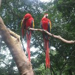 Macaws (not captive)