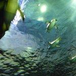 しまね海洋館 アクアス(ペンギン屋内水槽:頭上)