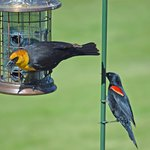 Yellow Headed and Red Winged Blackbird at the Refuge Visitor Center
