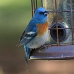 Lazuli Bunting at the Refuge Visitor Center