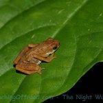 Frog seen on Night Walk