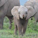Cheeky baby elephant with attitude