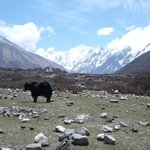 Yak with a view