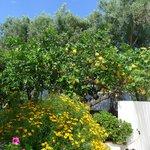 Les citronniers du jardin