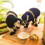 Petit déjeuner avec Lémuriens