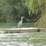 Heron-regular visitor!