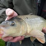 One of Many Quality Carp's-approx 12lb.