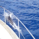 A dolphin swimming next to the boat