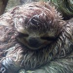 Baby 3 toed sloth