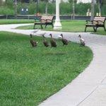 Ducks on parade at Lake Mirror