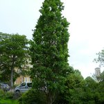 Fastigiata Oak (I think) Princess Of Wales Memorial
