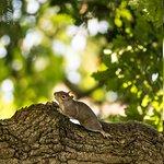 Squirrel in the oak
